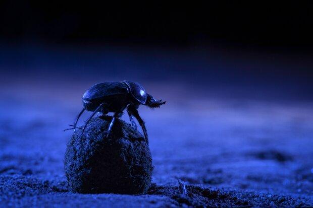 гнойовий жук
