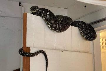 пітон, змія