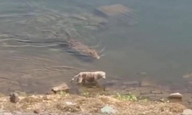 собачку потягнув під воду величезний крокодил