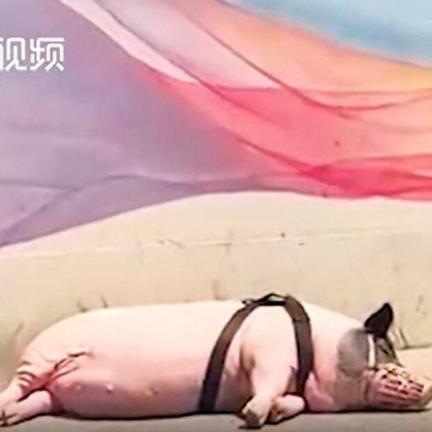 мікросвинка виявилася величезною свинею