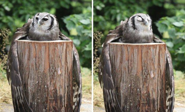 чому сова обіймає колоду