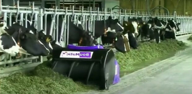 корови, виробництво молока