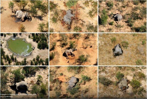 Таємничі бактерії винищують слонів