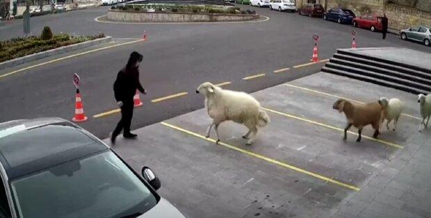 Вівці, кози і барани атакували будівлю міської мерії, курйозне відео