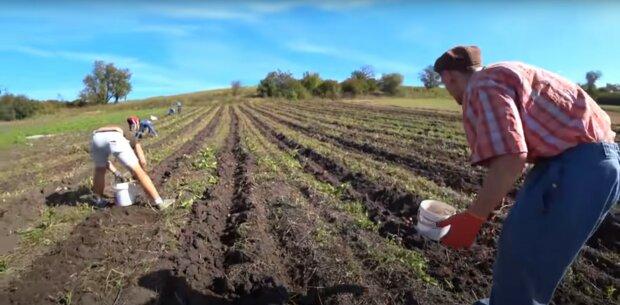 земля, город, копання картоплі