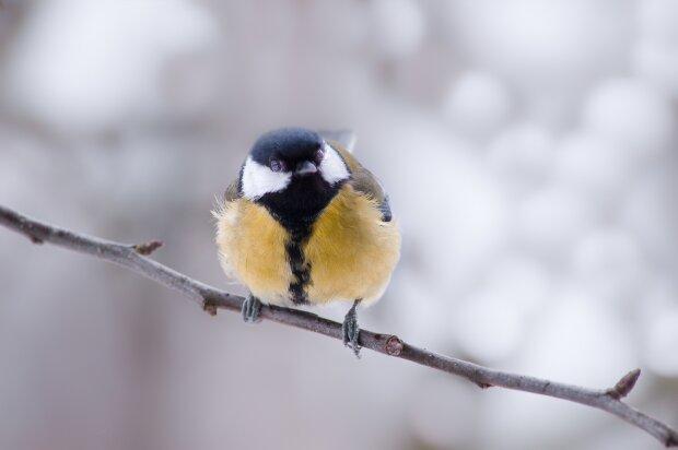 """Скріншот птиці """"Синиця"""""""