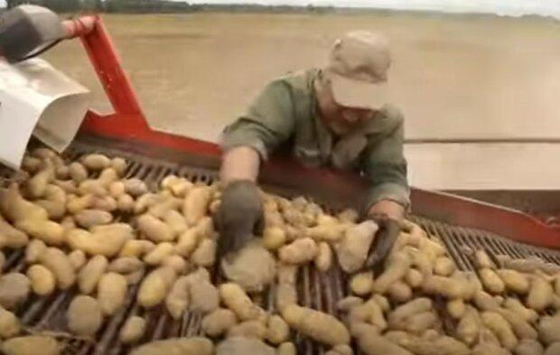 картопля, врожай, город