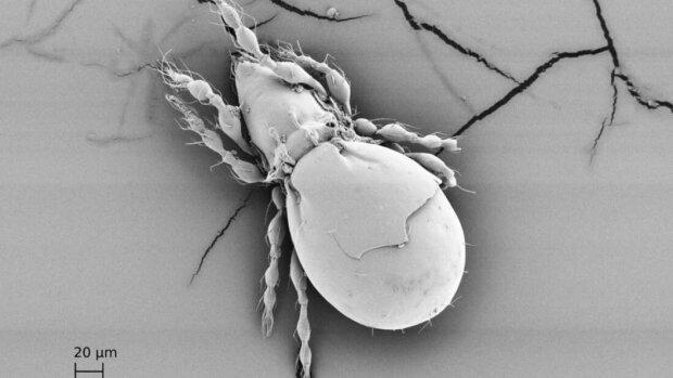 клещ-жук Oppiella nova