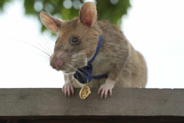 Пацюка на прізвисько Маґава нагороджено почесною нагородою