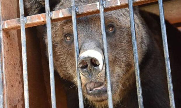 Реабілітацію на Закарпатті пройдуть два ведмеді