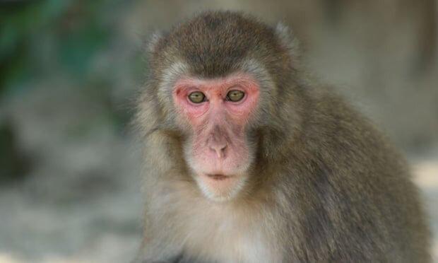 альфа-самка серед мавп