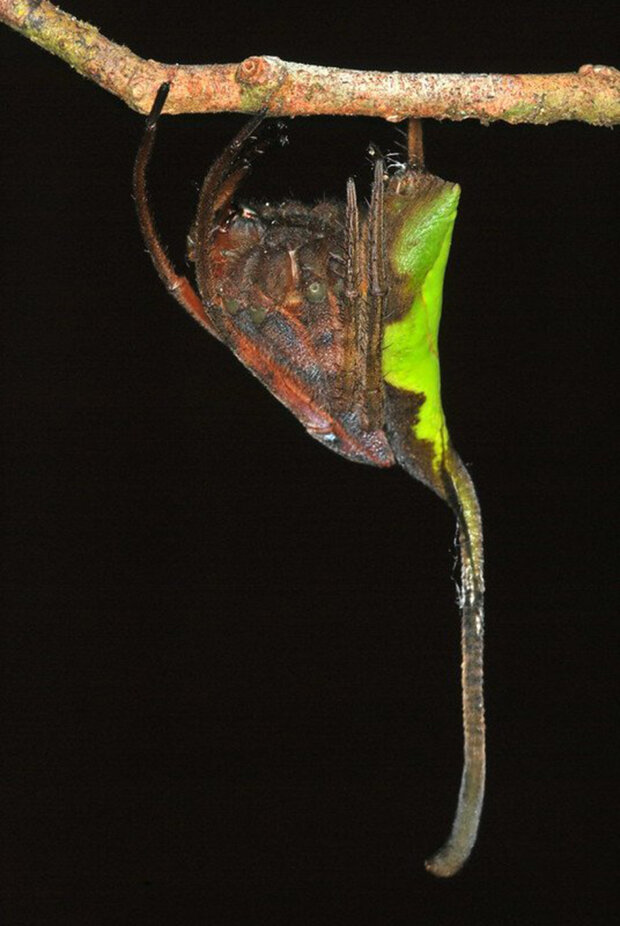 павук Полтіс моухоті