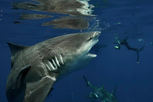 Джош Мур з гігантською акулою