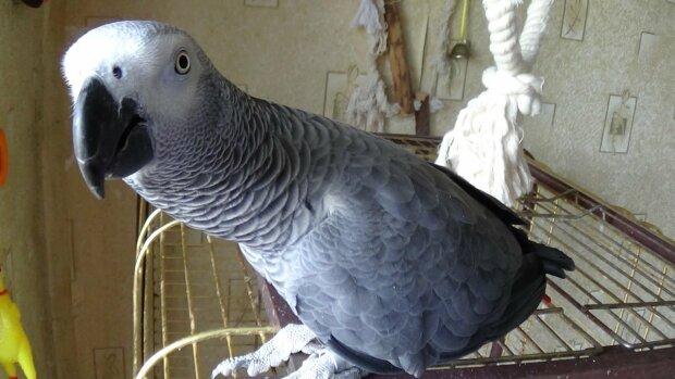 Папуга породи жако