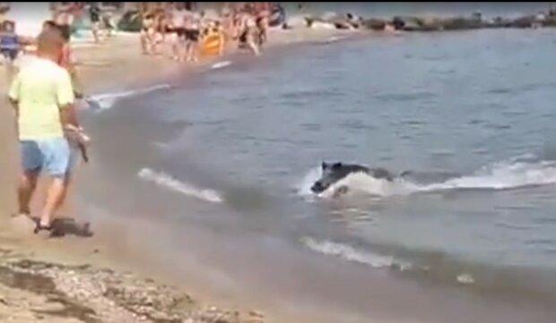 дикий кабан виплив з моря