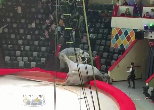 У російському цирку побилися слони