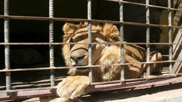 Левів з України випустили в дику природу