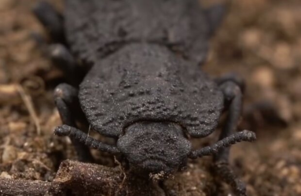 Диявольський жук